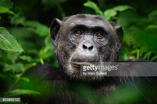 Common chimpanzee (Pan troglodytes), Kibale Forest National Park, Uganda