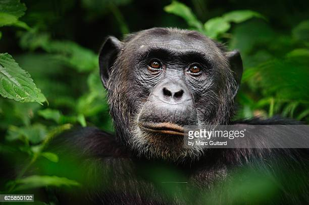 common chimpanzee (pan troglodytes), kibale forest national park, uganda - animals in the wild stock pictures, royalty-free photos & images