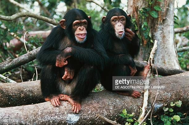 Common chimpanzee o Robust chimpanzee Hominidae
