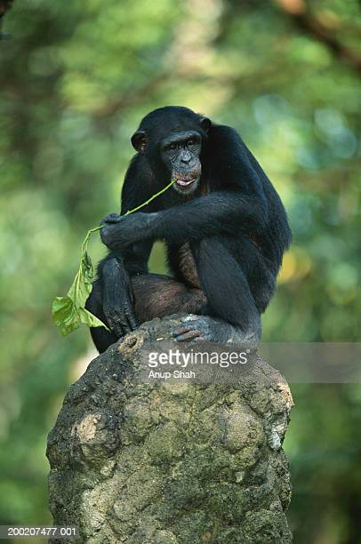 Common chimpanzee (Pan troglodytes) on rock, close up, Africa