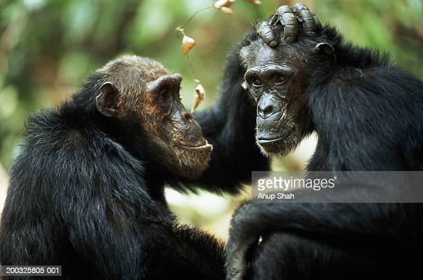 common chimpanzees (pan troglodytes) grooming, side view - primate stock pictures, royalty-free photos & images