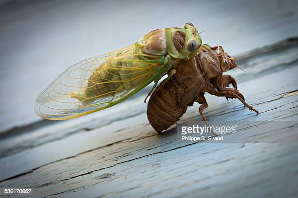 Common Cicada leaving its moult brown in summer