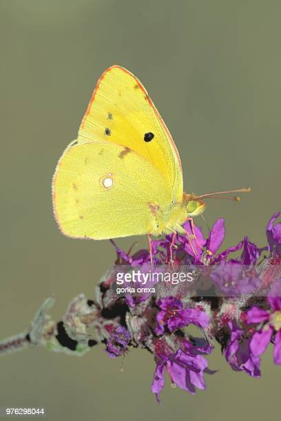 common clouded yellow (colias croceus) butterfly parching on flower, biscarrosse, aquitaine-limousine-poitou-charentes, france - biscarrosse photos et images de collection