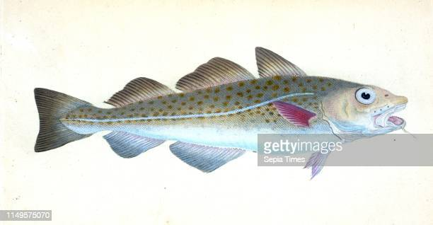 Common Codfish Gadus Morhua British fishes Donovan E 17681837