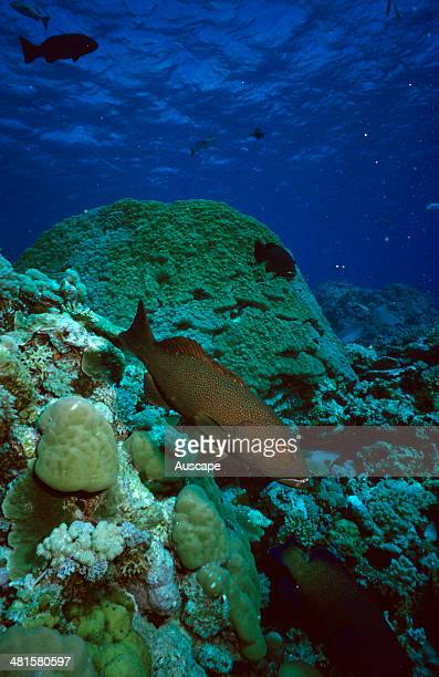 Common coral trout Plectropomus leopardus Great Barrier Reef Queensland Australia
