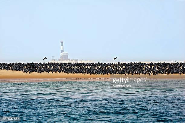 common cormorants -phalacrocorax carbo- on a sand bank near walvis bay, erongo region, namibia - erongo stock photos and pictures