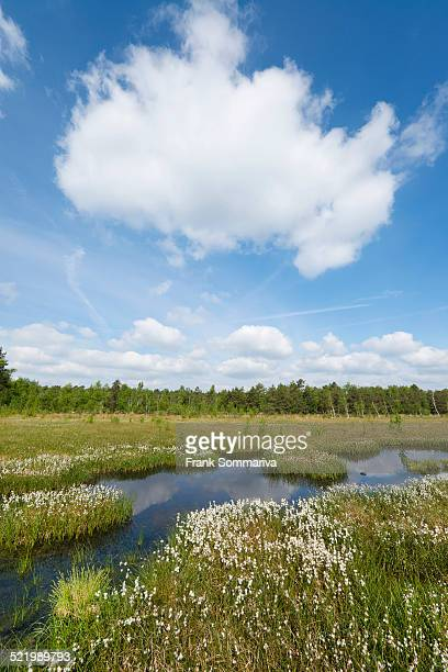 Common cottongrass -Eriophorum angustifolium-, Naturschutzgebiet Grosses Moor nature reserve, Lower Saxony, Germany