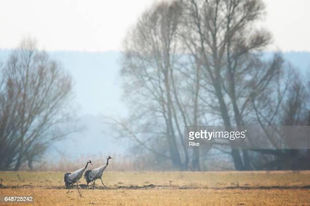 gemeinsamen kran paar (grus grus) auf der weide im zeitigen frühjahr - land brandenburg stock-fotos und bilder
