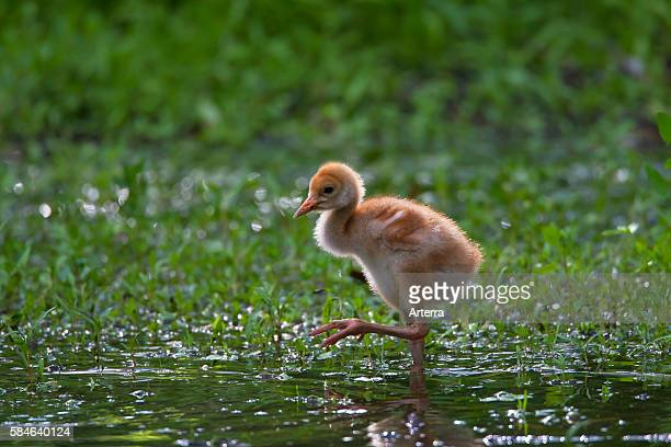 Common Crane / Eurasian Crane 10 day old chick walking along pond Germany