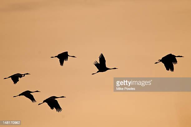 common crane, grus grus, flock in flight, norfolk - animals in the wild stock pictures, royalty-free photos & images