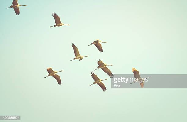 Common crane [Grus grus]