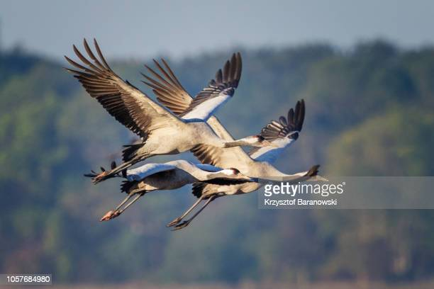 common crane in flight - crane bird stock pictures, royalty-free photos & images