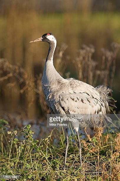 common crane (grus grus) in wetland, norfolk, uk - crane bird stock pictures, royalty-free photos & images
