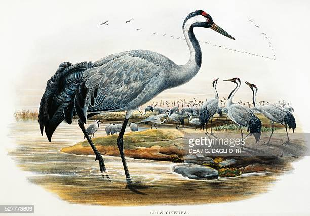 Common Crane lithograph from the Birds of Great Britain 18631873 by John Gould with drawings and lithographs by William Matthew Hart and Henry...