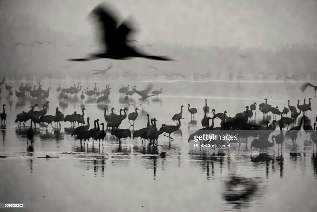 Common crane (Grus grus) : Stock Photo