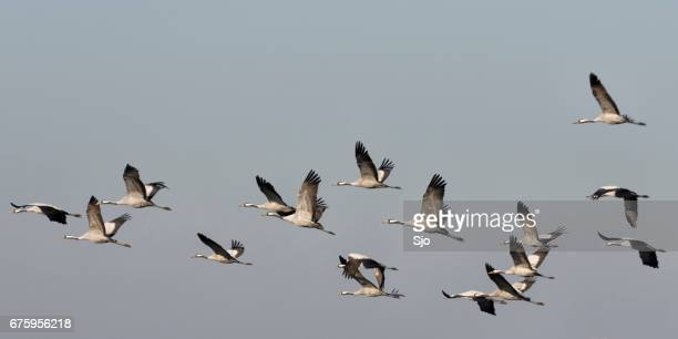 Common Cranes (Grus Grus) birds during migration season