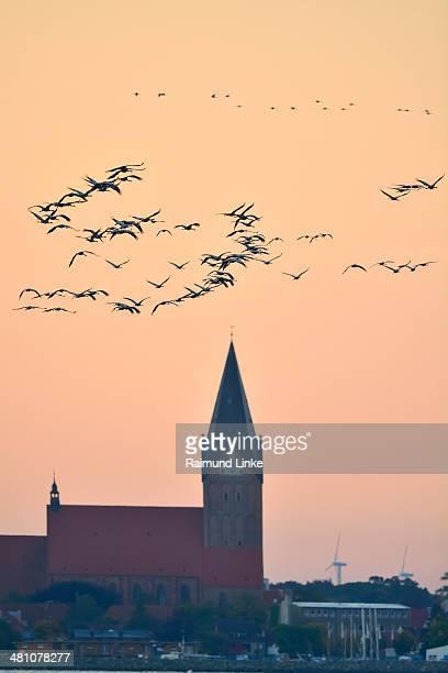 Common Cranes, Grus grus and Church