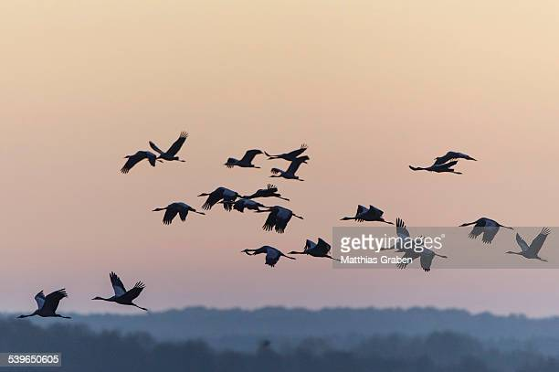 Common Cranes -Grus grus- in flight, Lower Saxony, Germany