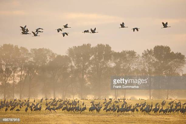Common Cranes -Grus grus-, on a field foraging in the early morning, Mecklenburg-Western Pomerania, Germany