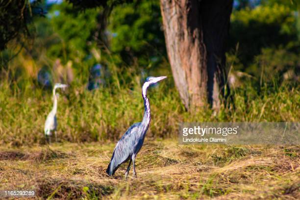 common cranes in a field foraging.a beautiful grey-white bird with a long neck. - long neck animals stock pictures, royalty-free photos & images