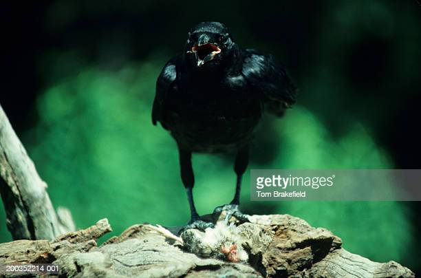 Common crow with baby pheasant, front view, North America
