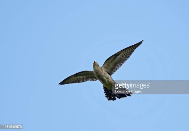 Common Cuckoo, Cuculus canorus, male in flight, Norfolk.