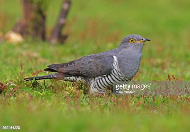 Common cuckoo [Cuculus canorus]