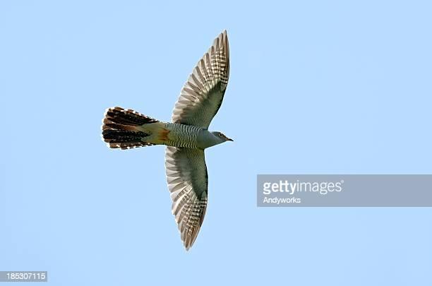 Common Cuckoo (Cuculus canorus) In Flight