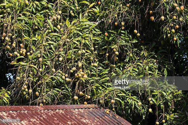 Common cultivar mango tree fruiting in Kona
