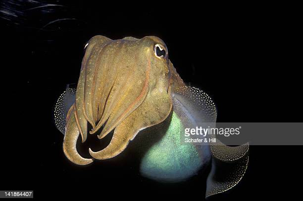 common cuttlefish, sepia officinalis - sepia stock pictures, royalty-free photos & images