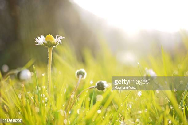 common daisies in early morning light - blade of grass stock pictures, royalty-free photos & images