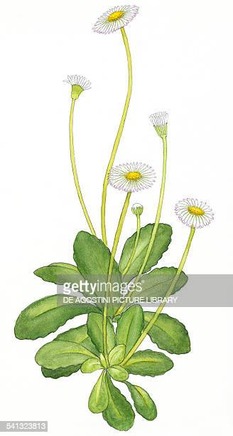 Common daisy Lawn daisy or English daisy Asteraceae drawing