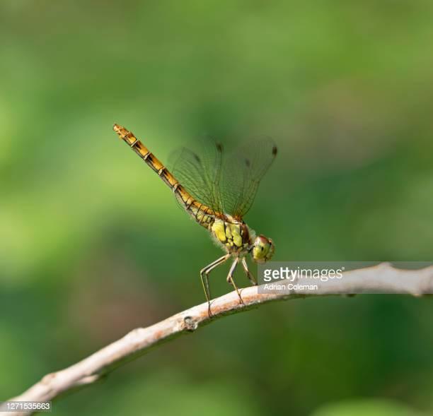 common darter (sympetrum striolatum) - 2015 stock pictures, royalty-free photos & images