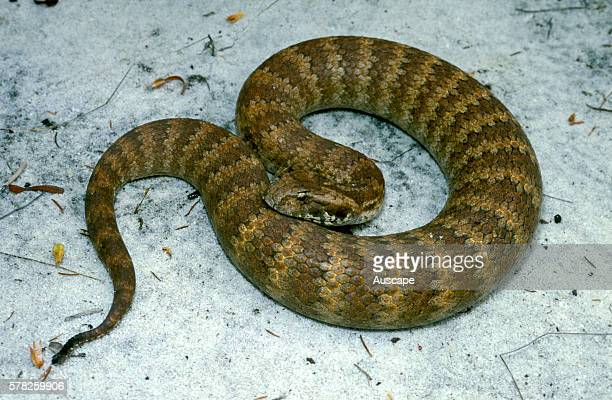 Common death adder Acanthophis antarcticus showing narrow tail that it uses as lure Canning Dam Perth region Western Australia Australia
