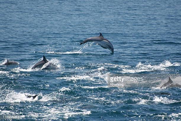 common dolphin, Delphinus delphis