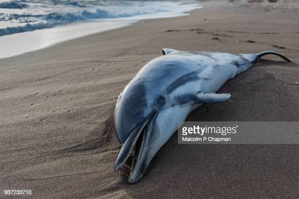 common dolphin, delphinus delphis, washed up on beach in greece.  the dead dolphin beached in high waves. - mytilene stock photos and pictures