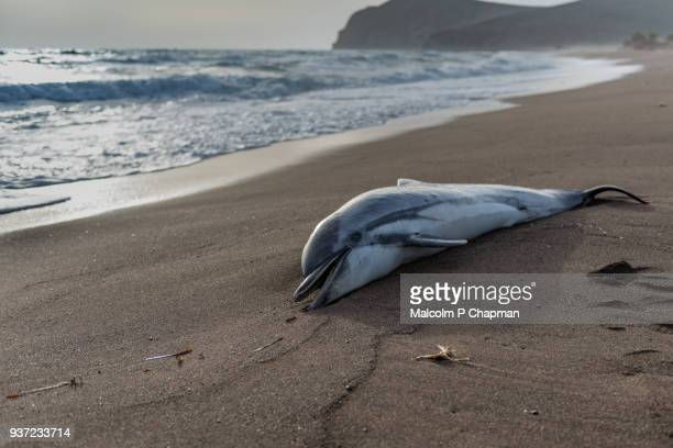 common dolphin, delphinus delphis, washed up on beach in greece.  the dead dolphin beached in high waves. - tod stock-fotos und bilder