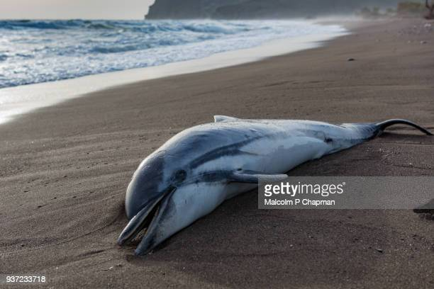 common dolphin, delphinus delphis, washed up on beach in greece.  the dead dolphin beached in high waves. - lesvos stock photos and pictures