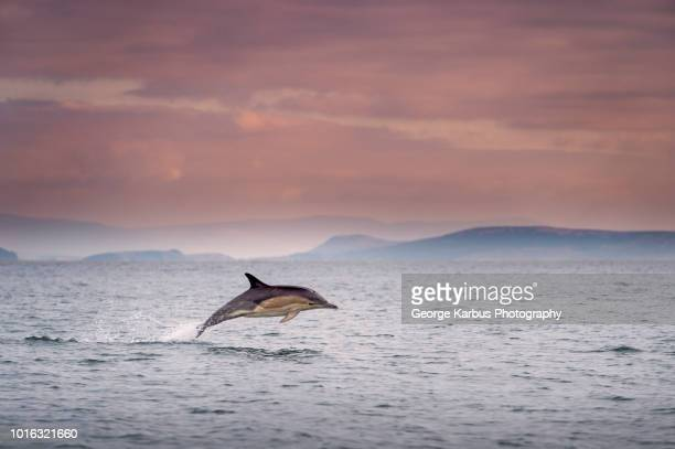 common dolphin (delphinus), porpoising, blasket islands, dingle, kerry, ireland - dauphin photos et images de collection