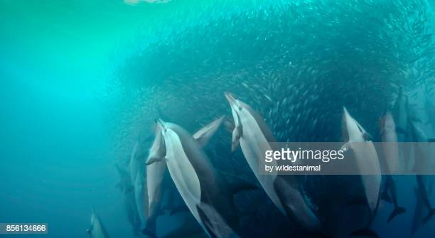Common dolphins attacking a sardine bait ball during the annual sardine run, Wild Coast, South Africa.