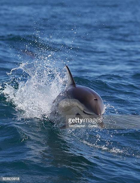 Common Dolphins in playful mood watched by Dolphin watch boats who follow the dolphins in the waters around Paihia, while taking part in the swimming...