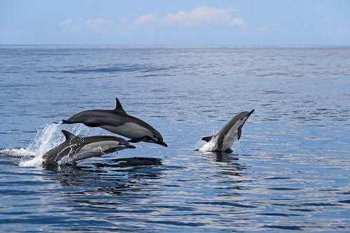 Common dolphins jumping, Costa Rica 823837348