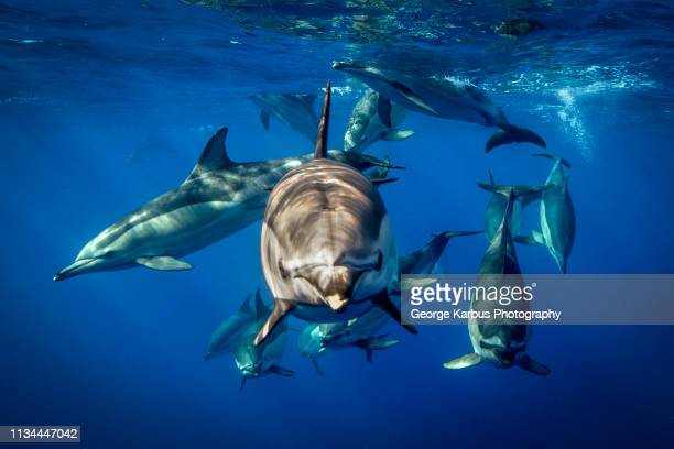 common dolphins, pico, portugal - cetacea stock photos and pictures