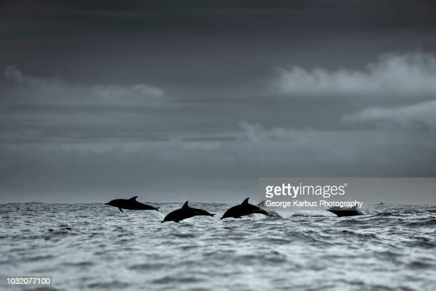 common dolphins silhouette, skellig islands, dingle, kerry, ireland - aquatic mammal stock pictures, royalty-free photos & images
