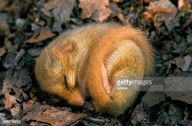 Common dormouse / hazel dormouse sleeping in leaf litter on forest floor during hibernation in winter.
