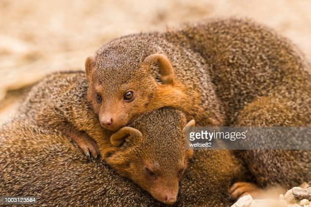 common dwarf mongoose lying on one another - mangusta foto e immagini stock