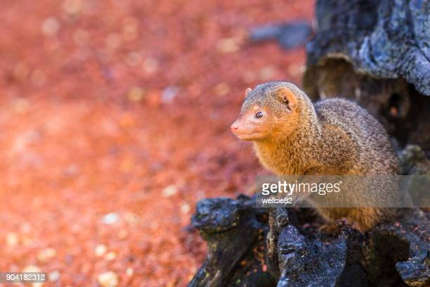 common dwarf mongoose peers out of a log - mongoose stock photos and pictures