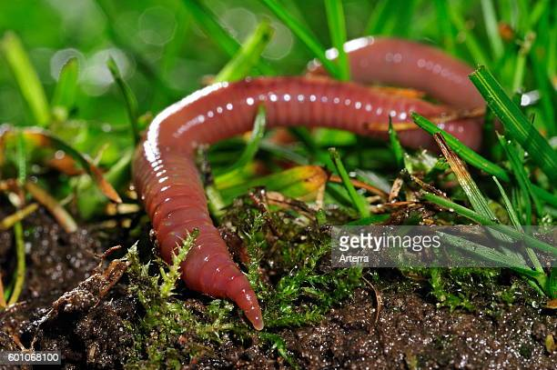 Common earthworm / lob worm burrowing into the ground in garden lawn.