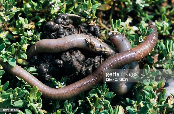 Common Earthworm Lob Worm Nightcrawler Dew Worm or Grandaddy Earthworm Haplotaxida