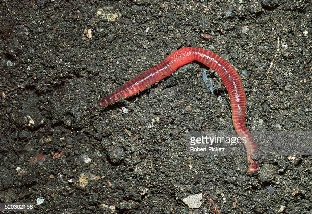common earthworm - earthworm stock pictures, royalty-free photos & images